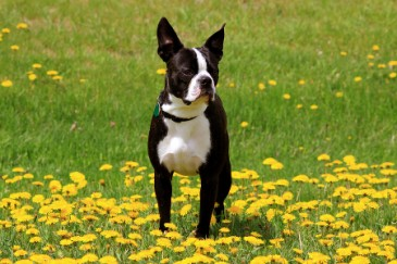 Best Dogs for Kids, Boston Terrier