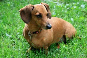 Best Dogs for Kids, Dachshund weiner dog