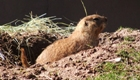 Ground hog coming out of its hole