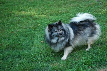 Best Dogs for Kids, Keeshond dog