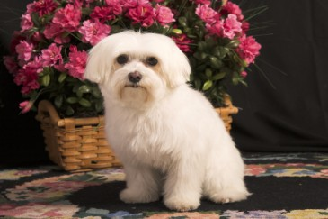 Best Dogs for Kids, Maltese dog