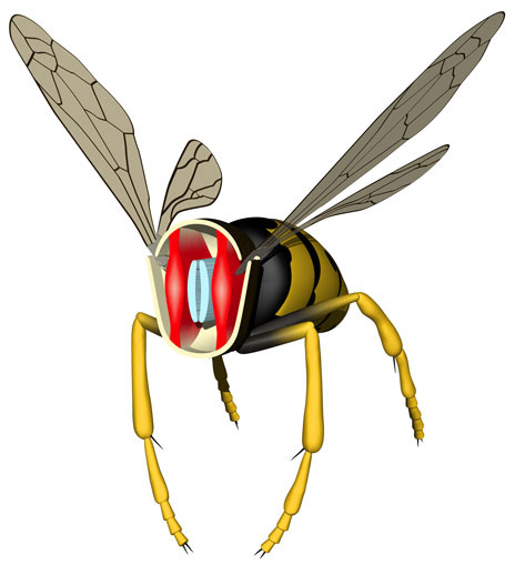 Flight Muscles In A Wasp  Upward Wingbeat