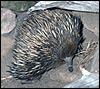 Echidna