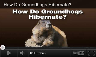Video: How Do Groundhogs Hibernate?
