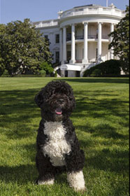 Bo - President Barack Obama's Dog