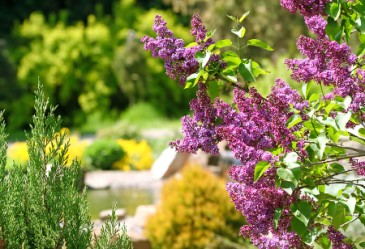 Blooming lilac bush in botanical garden