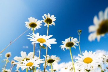 Daisy field, flower as baby name idea