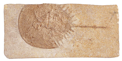 FOSSILIZED HORSESHOE CRAB