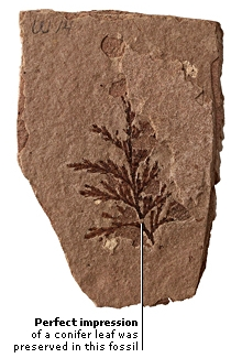 FOSSILIZED CONIFER SPRIG