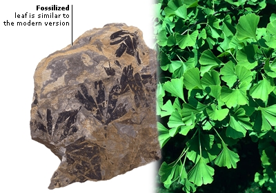FOSSILIZED GINKGO