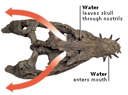 PLIOSAUR SKULL PHOTOGRAPHED FROM ABOVE