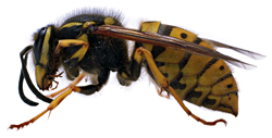 NEUTRAL WASP STING
