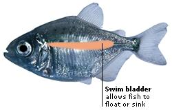how to aspirate a swim bladder in fish