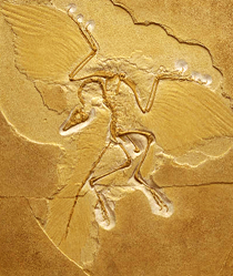 ARCHAEOPTERYX (ANCIENT FORM OF BIRD)