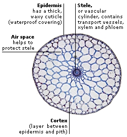 MICROGRAPH THROUGH A MARE'S TAIL STEM