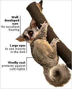 NOCTURNAL GALAGO