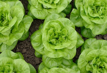 Heads of lettuce in a garden