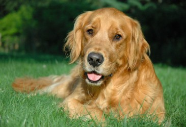 Golden Retriever laying in grass looking at camera