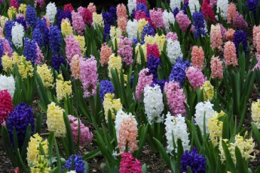 Hyacinth flowers as baby name idea