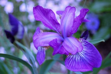 Iris flower as baby name idea