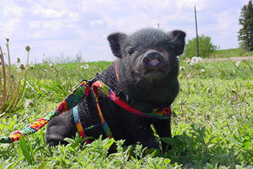 Potbelly Pig-With their intelligence and quirky personalities, these animals can be fun and loving, but with its curiosity can create a disaster.