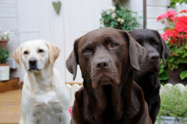 Best Dogs for Kids, Black chocolate and yellow labs