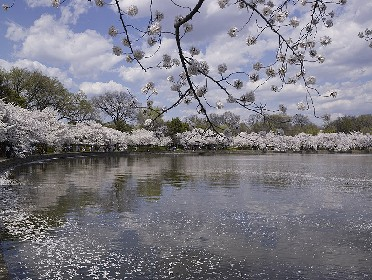 cherryblossomwater