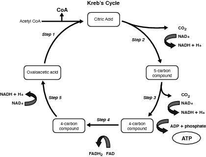 cellular respiration atp yield