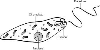Typical euglena.