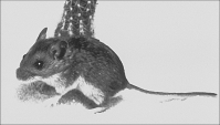 A deer mouse, the major carrier of a hantavirus that causes hantavirus pulmonary syndrome in humans.