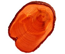 TREE TRUNK CROSS-SECTION