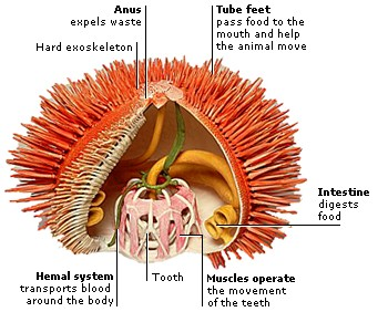 INSIDE A SEA URCHIN