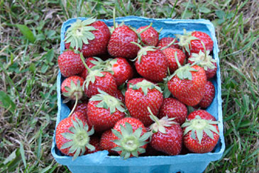 freshstrawberries,fruits