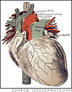 Medical Illustration of the Human Heart