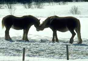 two horses rubbing noses