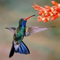 hummingbirdfeedingonnectar