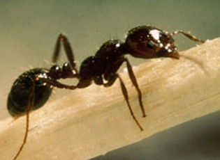 Red Fire Ants and Fire Ant Treatment