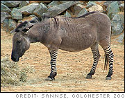 A donkey / zebra hybrid (called a 'Zeedonk' by Colchester Zoo in England and a called a 'zonkey' or 'zedonk' elsewhere). Photo by sannse, Colchester Zoo, 2 June 2004.