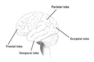 The brain is divided into four distinct lobes, which are responsible for very specific functions.