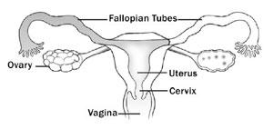A woman's reproductive organs.